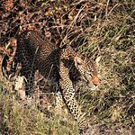 Up Close with Leopard in private park