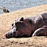 Hippo Neighbor from Lodge