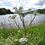 wild parsley by Lough Gur