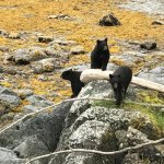 Bears at Herring Cove!