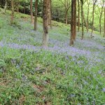 Fields of bluebells along the hike