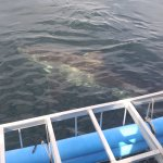 Shark near cage