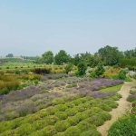 Visit the farm in July where the lavender is in full bloom!