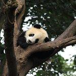 Photo de Giant Panda Breeding Research Base (Xiongmao Jidi)