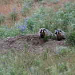 Badger babies on the Slough Creek Campground road