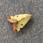 Green Drab Moth!