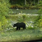 Bears grazing in Jasper with Jasper tour company and Joe Urie