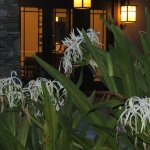 Beautiful Spider lilies in front of the building