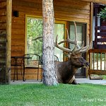Elk that decided the patio of our room was a nice place to take a break!