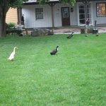 Ducks and Geese at Olde Mistick Village.