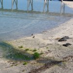 Baby seagulls on the beach at the trading post