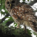 The owl is apparently very human-tolerant and was on the grounds of the lodge.