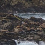 Sea Lions at Point Lobos