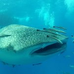 8m Whale Shark @ Sail Rock