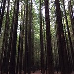 Photo of Redwoods, Whakarewarewa Forest