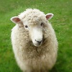see sheep in Auckland on our Auckland Sheepworld tour!