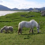 Rose and Charlie, the (authentic) Eriskay ponies
