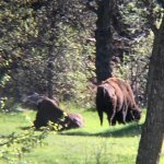 Bison right next to the visitors centre