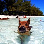 Visit the swimming pigs, just a short boat ride away.