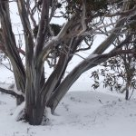 Snow gums on the mountain
