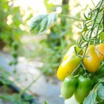 Tomates jaunes du potager