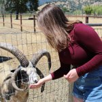 Feeding the 4 horned sheep (there are also various goats)