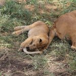 Lions with cubs in Serengeti