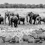 The in-camp wateringhole is probably on of the best in whole of Etosha.