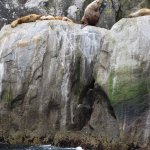 Steller Sea Lions (big male is twice the weight of the females)