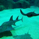 Requin et raie