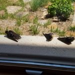 Birds (Orioles?) lingering on the window ledge and flying around the corner of the Lodge