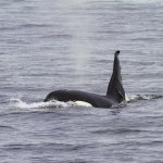 Orca. Photo by naturalist Marcus Bergstrom.