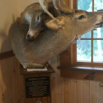 Deer tangled at Visitors Center