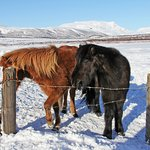Cute, odd and totally unique – the Icelandic horses @Reykjavik