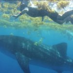 Whale shark swim along - Riviera Adventours