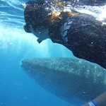 Swimming along with whale shark off the Isle de Mujeres Mexico - Riviera Adventours