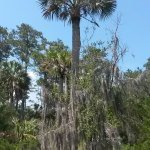 Palmetto tree in the state park