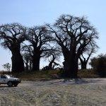 Nxai Pan NP Paine´s Baobab Gruppe