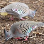 Colourful doves
