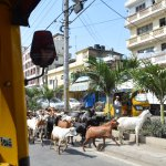 goats have priority in mombasa treets