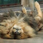 A rather relaxed Lion!