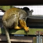Squirrel Monkey doing it's best to ignore me!