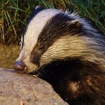 Badgers love peanut butter