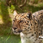 Male Amur Leopard on photo encounter at WHF