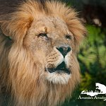 Male Lion on open day at WHF