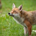 FOX  @ BWC