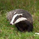 badger  @ BWC