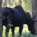 Bull Moose up and walking down through the Campgrounds