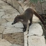 One of the many Coati that hang out along the path
