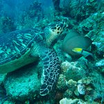Hawksbill Turtle feeding on a sponge with a Gray Angelfish and Yellowhead Wrasse